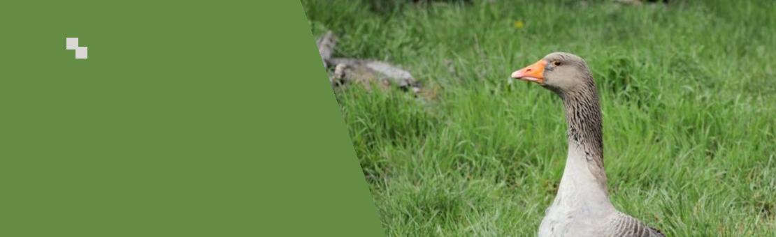 Éleveur - Producteur de Foie Gras d'Oie